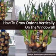 How To Grow Onions Vertically